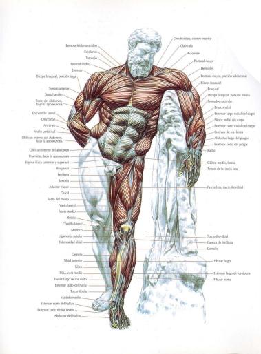 Sistema muscular – TodoEntrenamientos