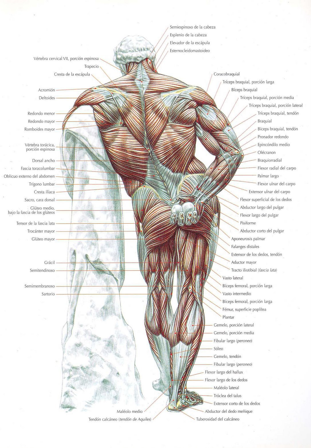 Anatomía muscular – TodoEntrenamientos